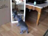 超全力! 鏡の中の自分と対峙する かわいいペットたち!