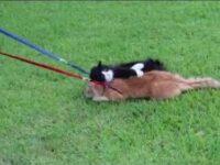 駄目だこりゃ! 猫と一緒に散歩しようとした結果……