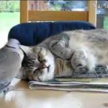 これはウザい! ハトに睡眠を妨害される可哀想なニャンコ