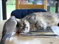 これはウザい! ハトに睡眠を妨害される可哀想な猫ちゃん